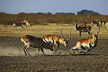 Kafue lechwe males fighting males,male,testosterone,fighting,fight,chase,chasing,territorial,territory,rut,rutting,dust,kobus leche,lechwe,lechwes,antelope,antelopes,herbivores,herbivore,vertebrate,mammal,mammals,terrestrial,ung