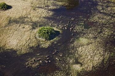 Aerial view of red lechwe herd,group,run,running,action,aerial view,aerial,water,plain,flooded plain,wetland,kobus leche,lechwe,lechwes,antelope,antelopes,herbivores,herbivore,vertebrate,mammal,mammals,terrestrial,ungulate,hor