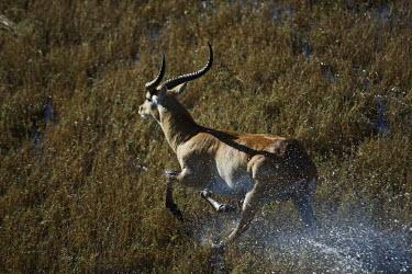 Red lechwe running through wetland male,running,run,plain,flooded plain,wetland,action,kobus leche,lechwe,lechwes,antelope,antelopes,herbivores,herbivore,vertebrate,mammal,mammals,terrestrial,ungulate,horns,horn,Africa,African,Cetartio