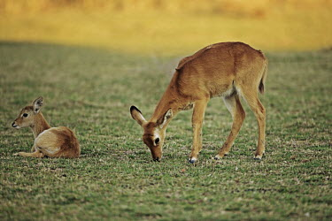 Puku mother and calf, habitat is grasslands and swamplands adjacent to water. antelope,antelopes,herbivores,herbivore,vertebrate,mammal,mammals,terrestrial,ungulate,horns,horn,Africa,African,fade,grass,grassland,grazing,graze,grazer,calf,young,juvenile,yellow,green,negative spa