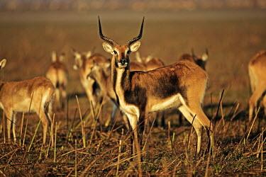 Black lechwe herd kobus leche,lechwe,lechwes,antelope,antelopes,herbivores,herbivore,vertebrate,mammal,mammals,terrestrial,ungulate,horns,horn,Africa,African,herd,group,grassland,plain,plains,Black lechwe,Kobus leche s