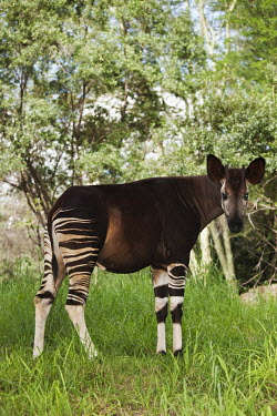 Okapi side view, their closest relative is the giraffe. belly,glare,ears,big ears,profile,forest,pattern,patterns,stripes,striped,camouflage,camo,herbivores,herbivore,vertebrate,mammal,mammals,terrestrial,Africa,African,Okapi,Okapia johnstoni,Herbivores,Ch