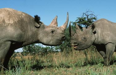 Two black rhinoceros face to face pair,couple,grassland,grazing,graze,grazers,rhinos,rhino,horn,horns,herbivores,herbivore,vertebrate,mammal,mammals,terrestrial,Africa,African,savanna,savannah,safari,Black rhinoceros,Diceros bicornis,