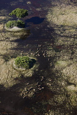 Aerial view of red lechwe crossing flood land herd,group,aerial view,aerial,water,plain,flooded plain,wetland,kobus leche,lechwe,lechwes,antelope,antelopes,herbivores,herbivore,vertebrate,mammal,mammals,terrestrial,ungulate,horns,horn,Africa,Afri