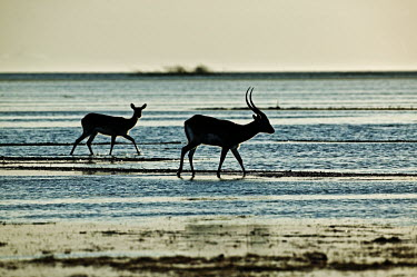 Kafue lechwe crossing flooded plain silhouette,water,wetland,lake,horizon,striped,lines,lined,blue,silver,kobus leche,lechwe,lechwes,antelope,antelopes,herbivores,herbivore,vertebrate,mammal,mammals,terrestrial,ungulate,horns,horn,Afric