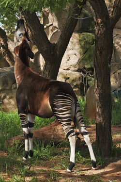 Okapi reaching for leaves overhead feeding,tongue,stretch,eating,adapted,adaptation,forest,pattern,patterns,stripes,striped,camouflage,camo,herbivores,herbivore,vertebrate,mammal,mammals,terrestrial,Africa,African,Okapi,Okapia johnston