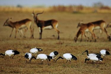 Sacred ibis with black lechwe in the background ibis,sacred ibis,bird,birds,birdlife,foraging,plains,plain,Kobus leche smithemani,kobus leche,black lechwe,lechwe,lechwes,antelope,antelopes,herbivores,herbivore,vertebrate,mammal,mammals,terrestrial,