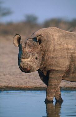 Black rhinoceros enters water hole water hole,watering hole,drink,calm,rhinos,rhino,horn,horns,herbivores,herbivore,vertebrate,mammal,mammals,terrestrial,Africa,African,savanna,savannah,safari,Black rhinoceros,Diceros bicornis,Herbivor