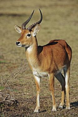 Puku, habitat is grasslands and swamplands adjacent to water. antelope,antelopes,herbivores,herbivore,vertebrate,mammal,mammals,terrestrial,ungulate,horns,horn,Africa,African,Puku,Kobus vardonii,Herbivores,Even-toed Ungulates,Artiodactyla,Bovidae,Bison, Cattle,