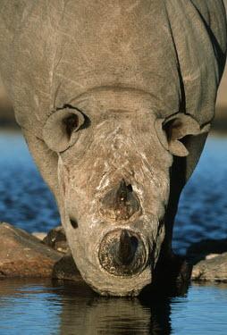 Black rhinoceros only need to drink every second or third day drinking,water hole,watering hole,rhinos,rhino,horn,horns,herbivores,herbivore,vertebrate,mammal,mammals,terrestrial,Africa,African,savanna,savannah,safari,thirsty,Black rhinoceros,Diceros bicornis,He