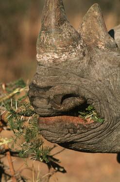 Black rhinoceros grazing feeding,thorns,shrub,vegetation,food,eating,rhinos,rhino,horn,horns,herbivores,herbivore,vertebrate,mammal,mammals,terrestrial,Africa,African,savanna,savannah,safari,Black rhinoceros,Diceros bicornis,