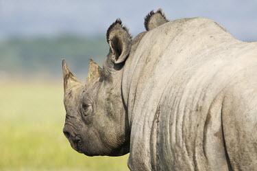 Black rhinoceros drinking in lake Nakuru rhinos,rhino,horn,horns,herbivores,herbivore,vertebrate,mammal,mammals,terrestrial,Africa,African,savanna,savannah,safari,Black rhinoceros,Diceros bicornis,Herbivores,Mammalia,Mammals,Chordates,Chorda