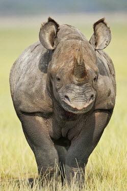 Portrait of a black rhinoceros rhinos,rhino,horn,horns,herbivores,herbivore,vertebrate,mammal,mammals,terrestrial,Africa,African,savanna,savannah,safari,Black rhinoceros,Diceros bicornis,Herbivores,Mammalia,Mammals,Chordates,Chorda