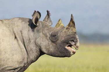 Side view of a black rhinoceros rhinos,rhino,horn,horns,herbivores,herbivore,vertebrate,mammal,mammals,terrestrial,Africa,African,savanna,savannah,safari,Black rhinoceros,Diceros bicornis,Herbivores,Mammalia,Mammals,Chordates,Chorda