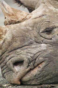 Close up portrait of adult bulls face close-up,sleep,sleeping,asleep,rest,resting,dozing,doze,nap,napping,grey,face,mouth,nostril,rhinos,rhino,horn,horns,herbivores,herbivore,vertebrate,mammal,mammals,terrestrial,Africa,African,savanna,sa