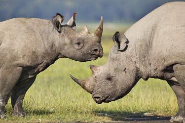 Black rhinoceros sub-adult calf and adult bull interact. mother and calf,rhinos,rhino,horn,horns,herbivores,herbivore,vertebrate,mammal,mammals,terrestrial,Africa,African,savanna,savannah,safari,Black rhinoceros,Diceros bicornis,Herbivores,Mammalia,Mammals,