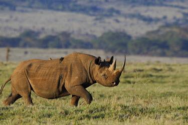 Black rhinoceros strolling across grassland rhinos,rhino,horn,horns,herbivores,herbivore,vertebrate,mammal,mammals,terrestrial,Africa,African,savanna,savannah,safari,Black rhinoceros,Diceros bicornis,Herbivores,Mammalia,Mammals,Chordates,Chorda