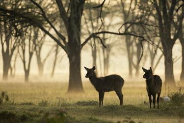 Waterbuck at dawn in misty woodland antelope,antelopes,herbivores,herbivore,vertebrate,mammal,mammals,terrestrial,ungulate,horns,horn,Africa,African,savanna,savannah,safari,dawn,forest,woodland,sunrise,mist,fog,peach,atmosphere,atmosphe