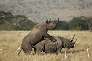Black rhinoceros mating rhinos,rhino,horn,horns,herbivores,herbivore,vertebrate,mammal,mammals,terrestria sex,courting,mating,mate,sexual,mount,love,lovers,penis,genitals,genitalia,behaviour,reproduce,reproduction,impregnati