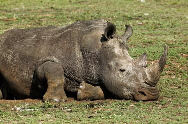 White rhino graze short grass. rhinos,rhino,horn,horns,herbivores,herbivore,vertebrate,mammal,mammals,terrestrial,Africa,African,savanna,savannah,safari,tired,sleep,sleepy,sleeping,White rhinoceros,Ceratotherium simum,Herbivores,Rh