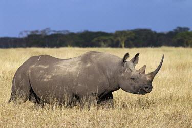 Side view of black rhinoceros in open grassland negative space,grass,grassland,shallow focus,rhinos,rhino,horn,horns,herbivores,herbivore,vertebrate,mammal,mammals,terrestrial,Africa,African,savanna,savannah,safari,Black rhinoceros,Diceros bicornis