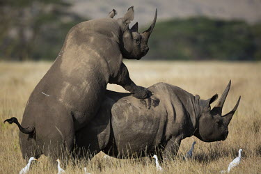 Black rhinoceros mating rhinos,rhino,horn,horns,herbivores,herbivore,vertebrate,mammal,mammals,terrestria sex,courting,mating,mate,sexual,mount,love,lovers,behaviour,reproduce,reproduction,impregnation,impregnate,spring,coup