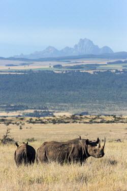 Black rhinoceros with Mount Kenya in the background rhinos,rhino,horn,horns,herbivores,herbivore,vertebrate,mammal,mammals,terrestria,Black rhinoceros,Diceros bicornis,Herbivores,Mammalia,Mammals,Chordates,Chordata,Rhinocerous,Rhinocerotidae,Perissodac