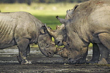 White and black rhino together. black rhino,black rhinoceros,Diceros bicornis,meeting,interaction,species,grass,grassland,shallow focus,rhinos,rhino,horn,horns,herbivores,herbivore,vertebrate,mammal,mammals,terrestrial,Africa,Africa
