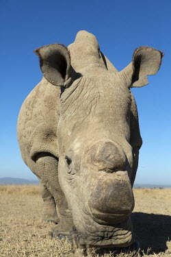Close up picture of one of the two sub-species of the white rhinoceros, extinct in the wild. Ceratotherium simumcottoni,extinct in the wild,poached,poaching,Northern White Rhino,Northern White Rhinoceros,Northern Square-lipped Rhinoceros,rhinos,rhino,horn,horns,hunted,illegal trade,black mark