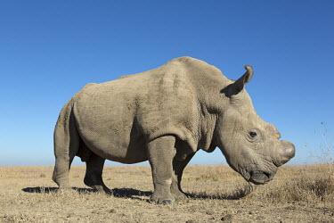 Close up picture of one of the two sub-species of the white rhinoceros, extinct in the wild. Ceratotherium simumcottoni,extinct in the wild,poached,poaching,Northern White Rhino,Northern White Rhinoceros,Northern Square-lipped Rhinoceros,rhinos,rhino,horn,horns,herbivores,herbivore,vertebrate