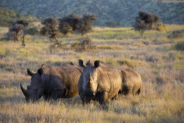 Family of white rhino graze dusk,negative space,rhinos,rhino,horn,horns,herbivores,herbivore,vertebrate,mammal,mammals,terrestrial,Africa,African,savanna,savannah,safari,White rhinoceros,Ceratotherium simum,Herbivores,Rhinocerou