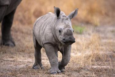 Front view of baby rhinoceros walking with mother calf,rhinos,rhino,horn,horns,herbivores,herbivore,vertebrate,mammal,mammals,terrestrial,Africa,African,savanna,savannah,safari,White rhinoceros,Ceratotherium simum,Herbivores,Rhinocerous,Rhinocerotida