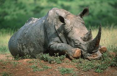 White rhinoceros sleeping tired,sleep,sleepy,sleeping,fed up,grumpy,rhinos,rhino,horn,horns,herbivores,herbivore,vertebrate,mammal,mammals,terrestrial,Africa,African,savanna,savannah,safari,water hole,watering hole,reflection,