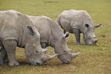 Rhino grazing, they prefer short grass areas. graze,grazers,grazing,rhinos,rhino,horn,horns,herbivores,herbivore,vertebrate,mammal,mammals,terrestrial,Africa,African,savanna,savannah,safari,White rhinoceros,Ceratotherium simum,Herbivores,Rhinocer