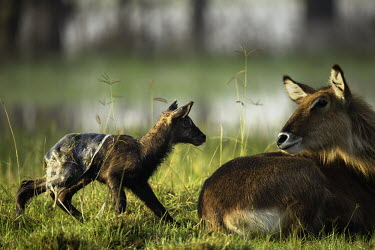 Mother waterbuck and new born covered in placenta mother and calf,calf,juvenile,young,baby,babies,new born,birth,placenta,antelope,antelopes,herbivores,herbivore,vertebrate,mammal,mammals,terrestrial,ungulate,horns,horn,Africa,African,savanna,savanna