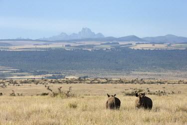 Wildscreen Exchange - black rhino