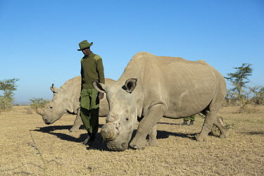 Rhinos with keeper, one of two sub-species of the white rhinoceros, extinct in the wild. conservation,protection,protect,conserve,reserve,reservation,protected,keeper,warden,wardens,guard,guards,human intervention,human,Ceratotherium simumcottoni,extinct in the wild,poached,poaching,North