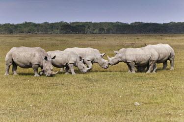 Two groups of rhino meet. herd,herds,group,crash,meeting,gathering,gather,rhinos,rhino,horn,horns,herbivores,herbivore,vertebrate,mammal,mammals,terrestrial,Africa,African,savanna,savannah,safari,White rhinoceros,Ceratotherium
