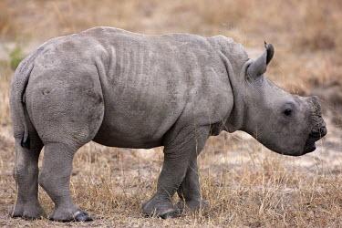 Side view of baby rhinoceros calf,rhinos,rhino,horn,horns,herbivores,herbivore,vertebrate,mammal,mammals,terrestrial,Africa,African,savanna,savannah,safari,White rhinoceros,Ceratotherium simum,Herbivores,Rhinocerous,Rhinocerotida