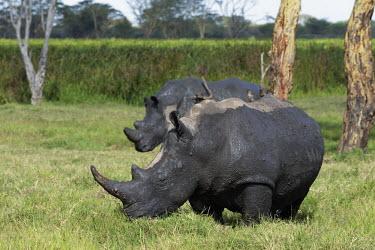 White rhinoceros covered in mud to protect itself from parasites and extreme heat mud,mud bath,bath time,cool,behaviour,rhinos,rhino,horn,horns,herbivores,herbivore,vertebrate,mammal,mammals,terrestrial,Africa,African,savanna,savannah,safari,White rhinoceros,Ceratotherium simum,Her