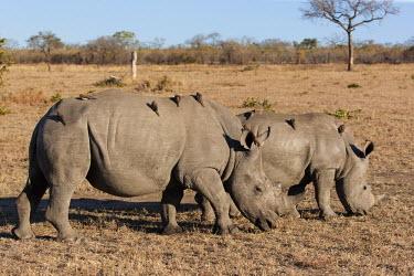 Two White Rhinoceros grazing oxpecker,Buphagus erythrorhynchus,bird,birds,birdlife,symbiosis,symbiotic,hitch hiker,symbiotic relationship,symbiotic relationships symbiotic relationship,symbiotic relationships rhinos,rhino,herbivo