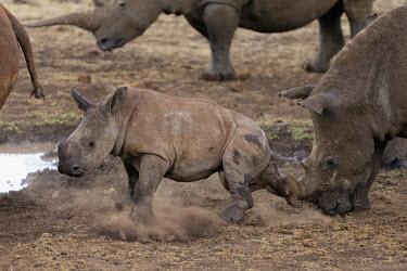 White rhinoceros calf kicking up sand with adolescents and Mother at a waterhole mother and calf,dust,mud bath,calf,young,juvenile,baby,parent,rhinos,rhino,horn,horns,herbivores,herbivore,vertebrate,mammal,mammals,terrestrial,Africa,African,savanna,savannah,safari,White rhinoceros