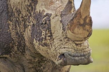 Close up of the square mouth of white rhino. mud bath,rhinos,rhino,horn,horns,herbivores,herbivore,vertebrate,mammal,mammals,terrestrial,Africa,African,savanna,savannah,safari,White rhinoceros,Ceratotherium simum,Herbivores,Rhinocerous,Rhinocero
