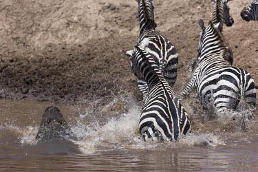 Grevy's zebra escaping a crocodile ambush prey,victim,crossing,migration,danger,dangerous,food,eaten,dinner time,crocodile,Nile crocodile,croc,Crocodylus niloticus,attack,ambush,predator,predation,Equus burchelli,Burchell's zebra,striped,stri