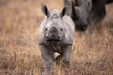 Front view of baby rhinoceros walking with mother mother and calf,calf,negative space,rhinos,rhino,horn,horns,herbivores,herbivore,vertebrate,mammal,mammals,terrestrial,Africa,African,savanna,savannah,safari,White rhinoceros,Ceratotherium simum,Herbi