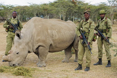 Rhino with armed guards, one of two sub-species of the white rhinoceros, extinct in the wild. guns,gun,armed guard,conservation,protection,protect,conserve,reserve,reservation,protected,keeper,warden,wardens,guard,guards,human intervention,human,Ceratotherium simumcottoni,extinct in the wild,p