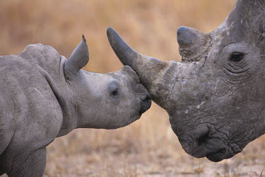 Baby white rhinoceros nuzzling its mother mother and calf,calf,negative space,rhinos,rhino,horn,horns,herbivores,herbivore,vertebrate,mammal,mammals,terrestrial,Africa,African,savanna,savannah,safari,White rhinoceros,Ceratotherium simum,Herbi