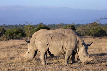 Side view of a white rhinoceros in Kenya. rhinos,rhino,horn,horns,herbivores,herbivore,vertebrate,mammal,mammals,terrestrial,Africa,African,savanna,savannah,safari,White rhinoceros,Ceratotherium simum,Herbivores,Rhinocerous,Rhinocerotidae,Per