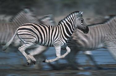 Plains zebra panicking at waterhole. Digitally enhanced. panicked,panic,run,running,shallow focus,herd,gallop,galloping,predation,Equus burchelli,Burchell's zebra,striped,stripes,herbivores,herbivore,vertebrate,mammal,mammals,terrestrial,Africa,African,sava