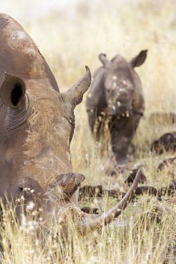 Female white rhino and young calf. grass,long grass,graze,grazing,yellow,mother and calf,background,rhinos,rhino,horn,horns,herbivores,herbivore,vertebrate,mammal,mammals,terrestrial,Africa,African,savanna,savannah,safari,White rhinoce